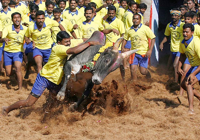14 Jallikattu is an ancient heroic sporting event in India