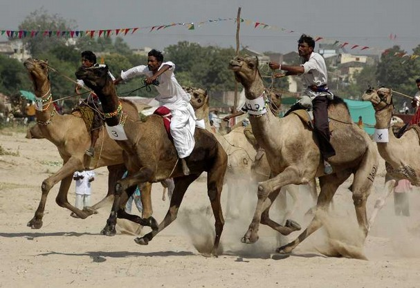 17 Camel Races Sidhpur India